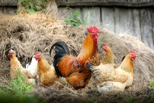 a flock of chickens standing around a big rooster