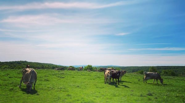 a herd of cattle grazing on a lush green field