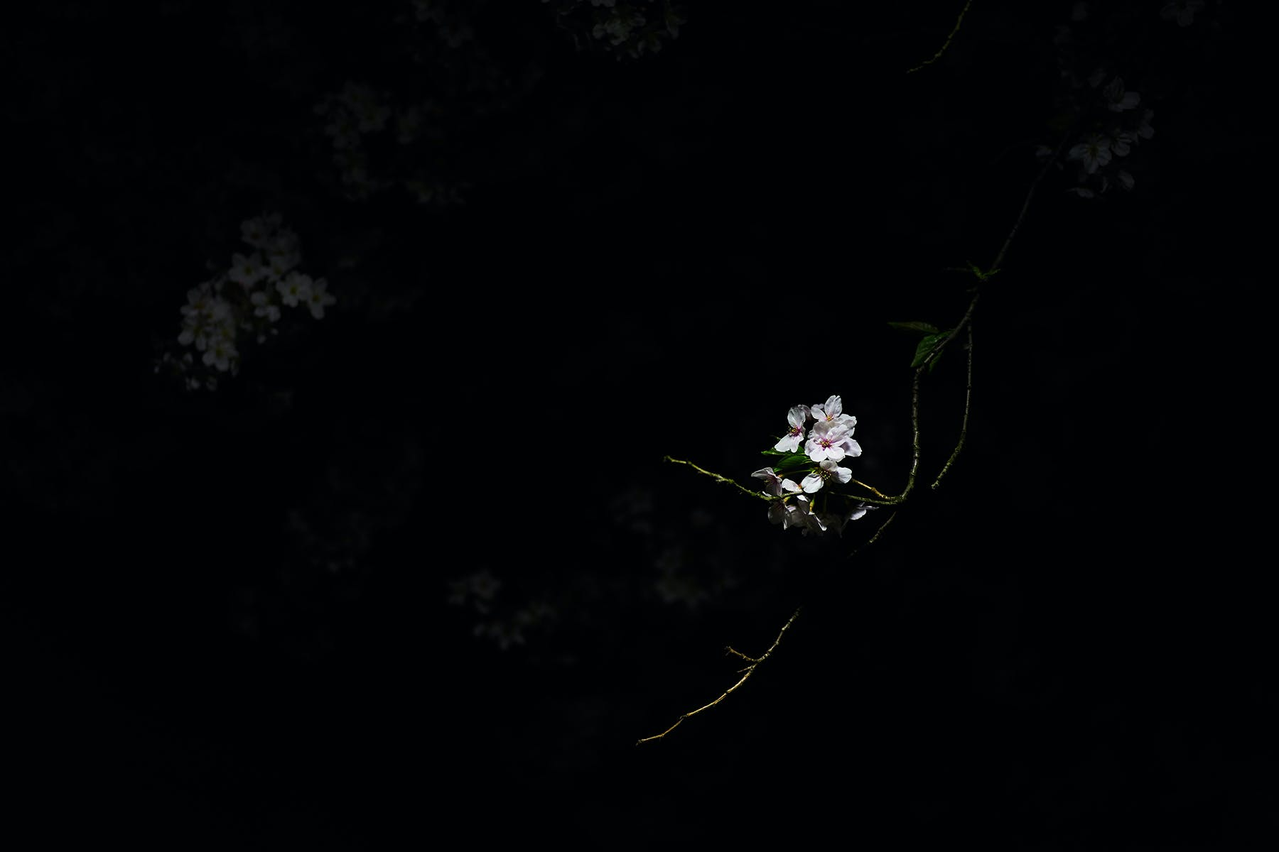 white flower against a black background