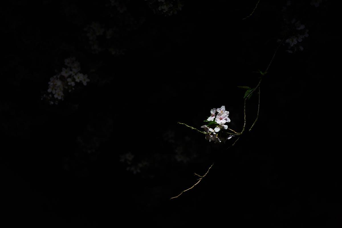 white flower against a black background