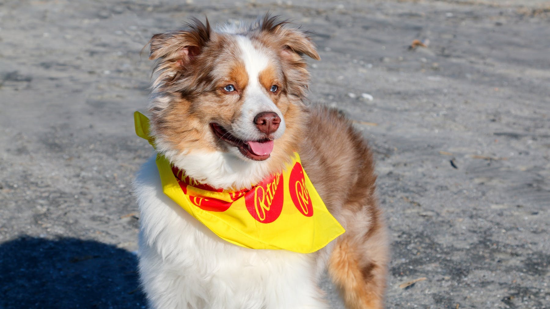 a dog wearing a yellow frisbee