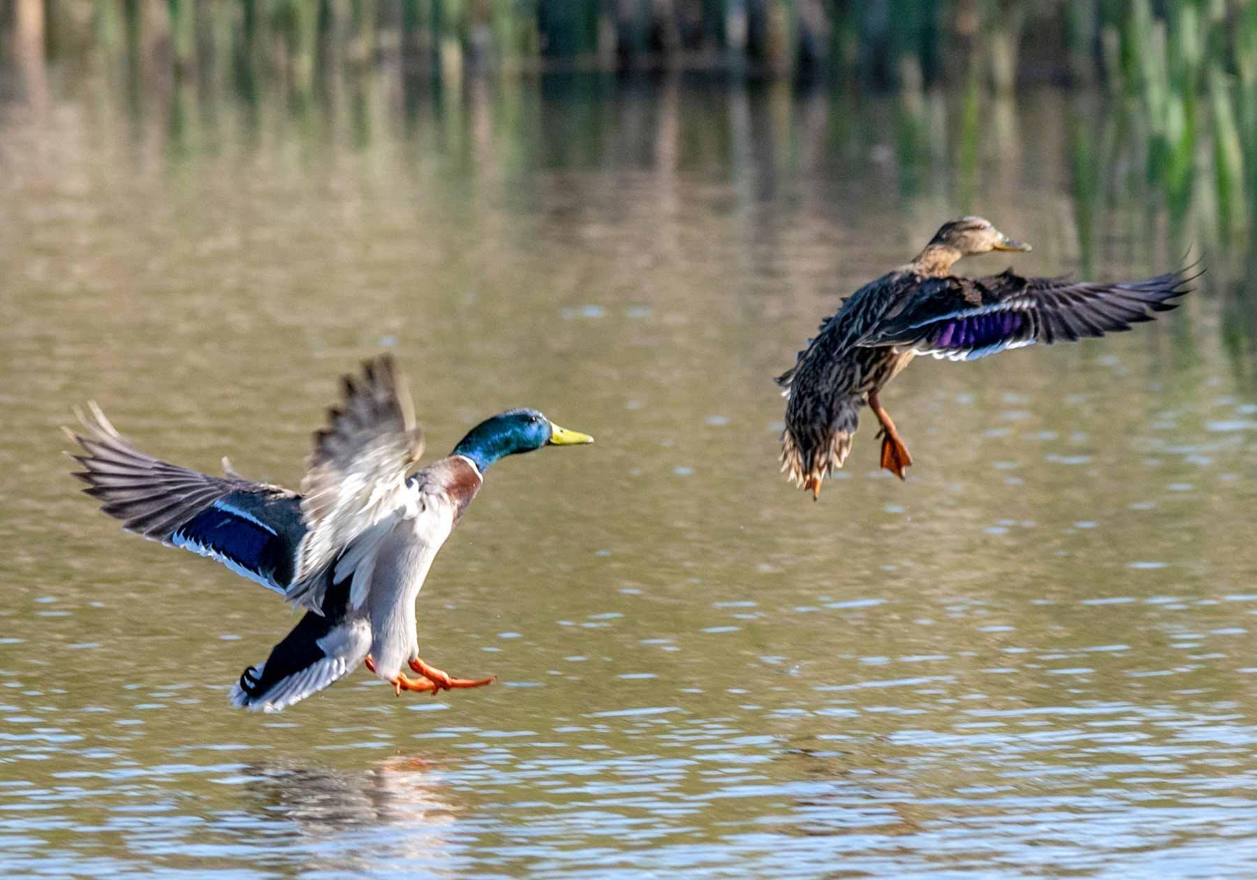 Mallard ducks in flight over water.