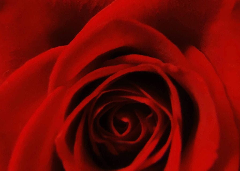 a red rose on a bed