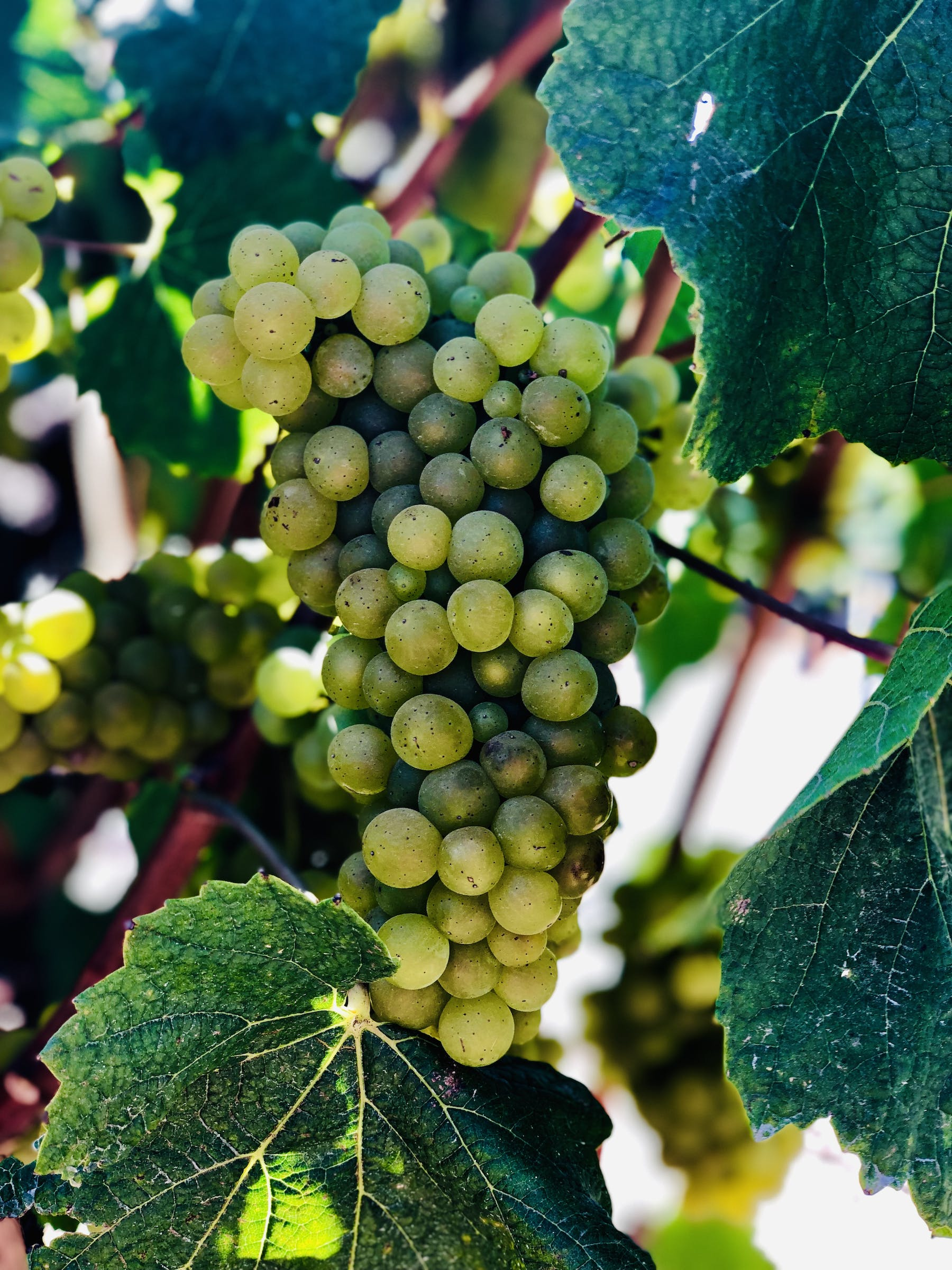 a close up of wine grapes