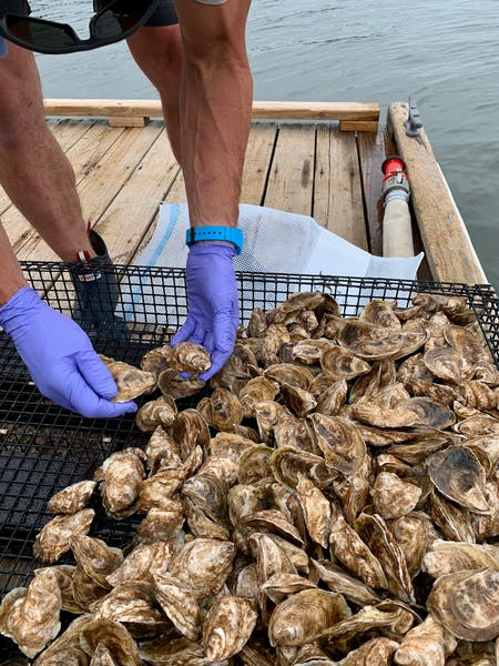 oysters on an oyster farm