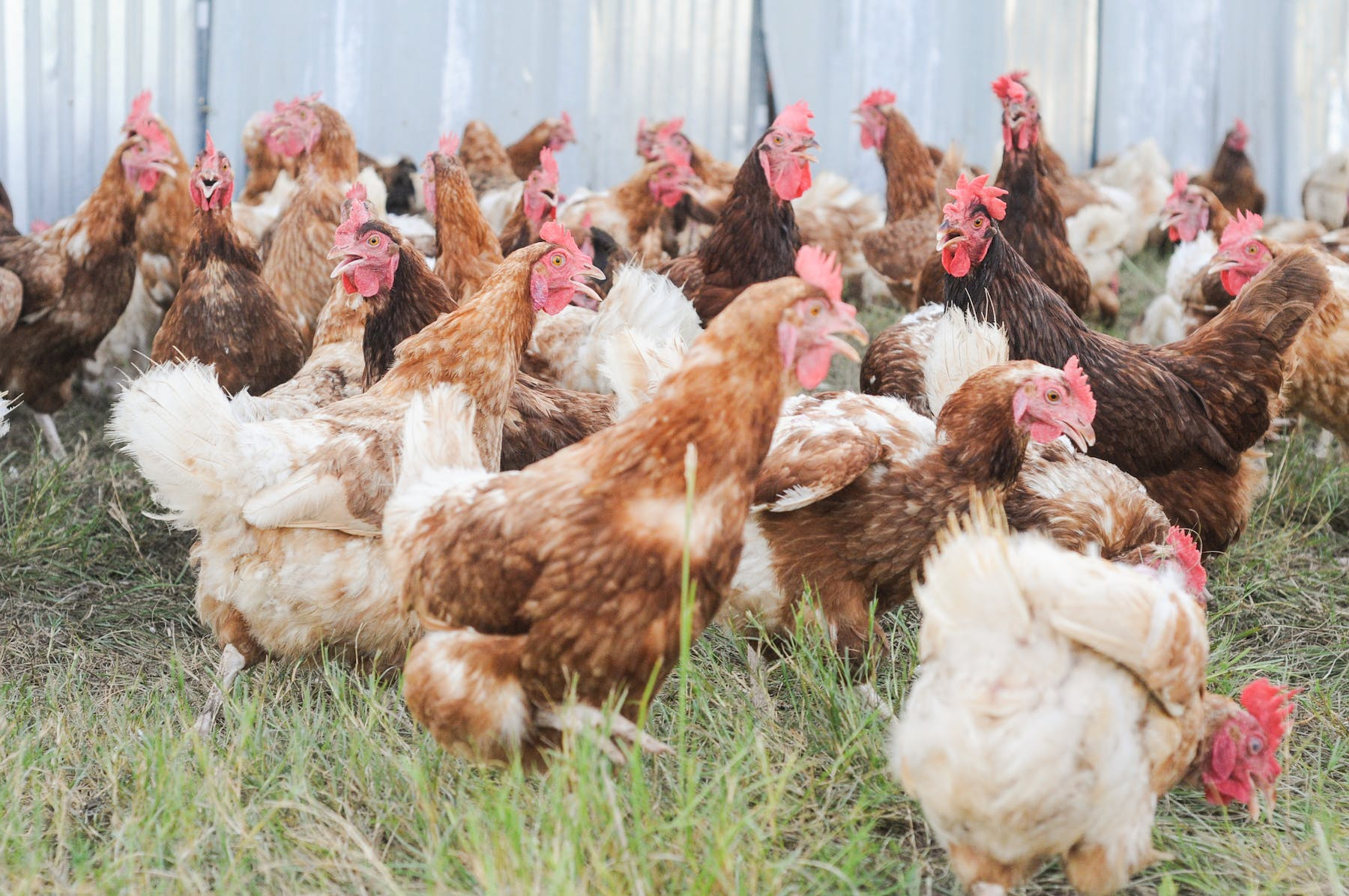 a group of chicken